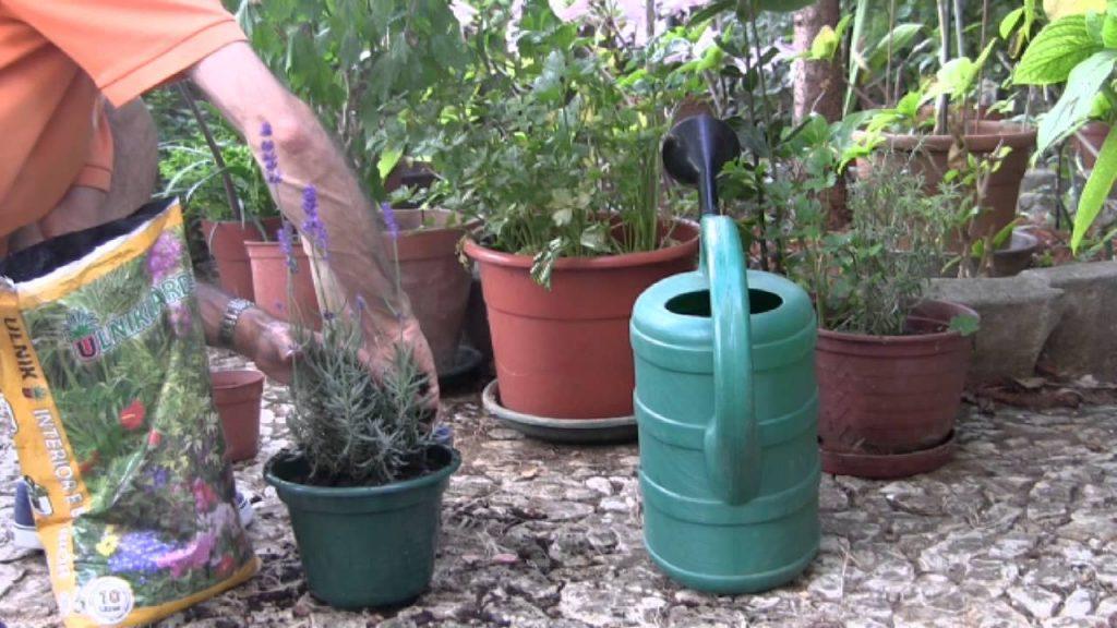 Saiba como cultivar alfazemas